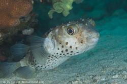 BD-120423-Fury-Shoal-6283-Cyclichthys-spilostylus-(Leis---Randall.-1982)-[Spotbase-burrfish].jpg